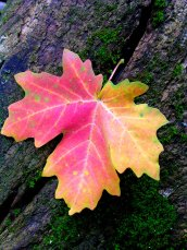 Lone-Leaf-(City-Creek)